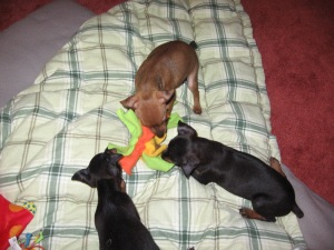 pups first day -play time