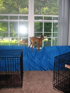 Most dogs go through agility tunnels, but Aspen likes to show off with a balancing act!